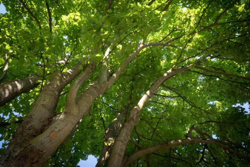 Ahorn Baum Krone