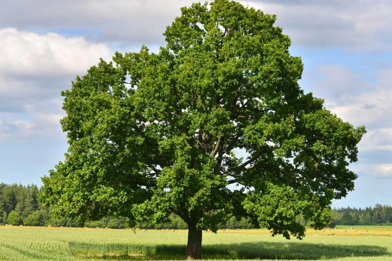 Eiche Baum