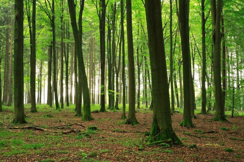 Buche Wald