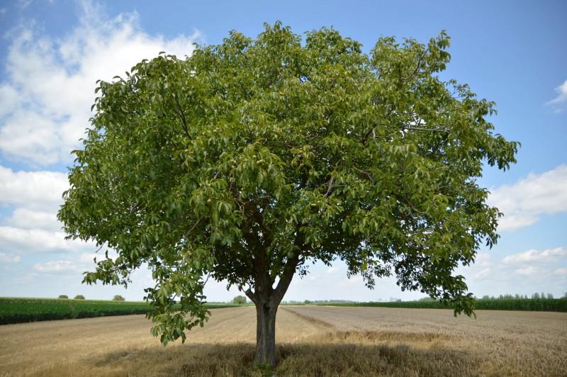 Nussbaum Baum