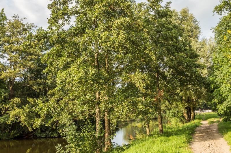 Erle Baum